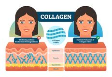 Collagen vector illustration. Medical and anatomical labeled scheme with fibers, epidermis, hypodermis and muscle. Anatomy diagram vector illustration