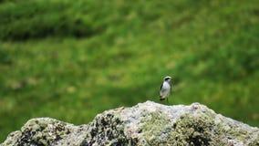 Collalba gris北麦翁之类的鸣禽 免版税库存图片