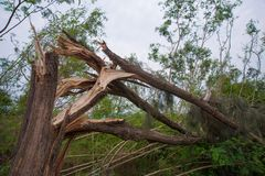 Collapse tree danger. Big tall tree collapse in country side stock image