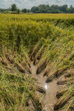 Collapsed rice sprouts. In paddy royalty free stock images