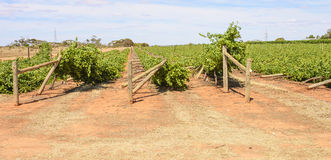 Collapsing Rows of Wind Damaged Chardonnay Vines. Royalty Free Stock Photo