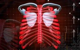 Collar bone Stock Images