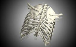 Collar bone Stock Photos