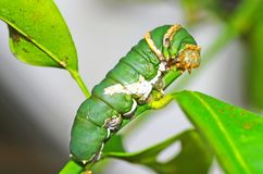 Collar caterpillar Stock Image