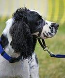 Collar del entrenamiento del perro Imágenes de archivo libres de regalías