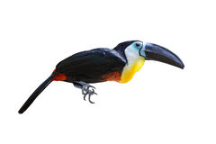 Collard Aracari Bird Royalty Free Stock Image