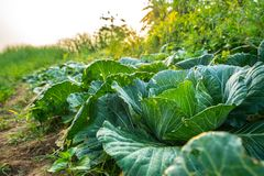 Collard in the garden of the house is grown without the use of chemicals. Royalty Free Stock Photos