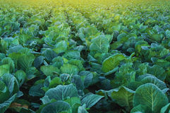Collard green field Royalty Free Stock Photography