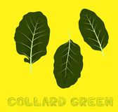 Collard Green Vector Illustration bueno vegetal libre illustration