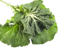 Collard – Known as Couve Galega. Collard, or Couve Galega in Portugal, is a cultivar of Brassica oleracea used to make the popular Portuguese soup Caldo royalty free stock photography