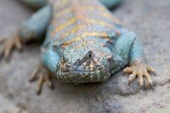 Collard Lizard Royalty-vrije Stock Foto's