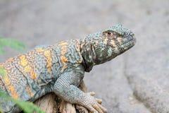 Collard Lizard Royalty-vrije Stock Afbeeldingen