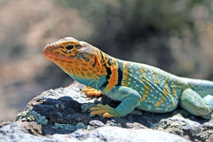 Collard lizard Royalty Free Stock Photo