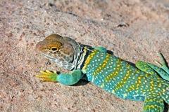 Collard Lizard Stock Photo