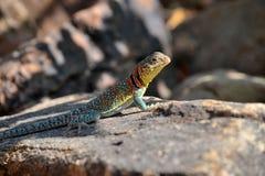 Collard lizard. Basking in the sun Stock Photography