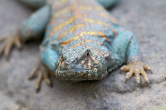 Collard Lizard Royalty Free Stock Photos