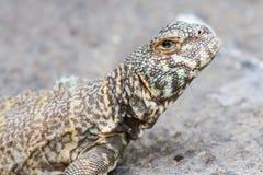 Collard Lizard. A closeup of a collard lizard Stock Photography