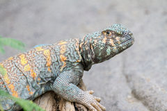 Collard Lizard. A closeup of a collard lizard Royalty Free Stock Images