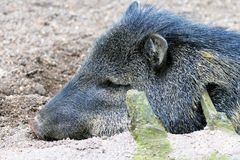 Collard Peccary Royalty Free Stock Photo