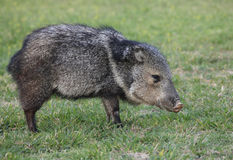 Collarded Peccary or Javelina Royalty Free Stock Photo