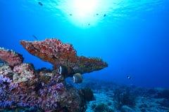 Collare butterflyfish'spar Arkivfoto