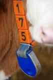 Collare dei dettagli dei vitelli Fotografia Stock Libera da Diritti