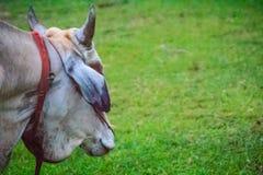 Collare rosso di usura bianca indigena della mucca nel campo di erba verde del RUR Fotografie Stock Libere da Diritti