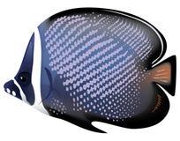 Collare tropical de Chaetodon de los pescados. Fotos de archivo libres de regalías