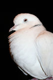 Collared африканец нырнул (roseogrisea горлицы) Стоковые Изображения