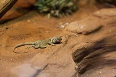collared восточная ящерица Стоковое Фото