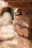 collared восточная ящерица Стоковые Фото