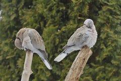 Голубь Collared Eurasian Стоковое Фото