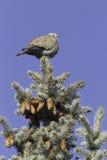 Collared голубь на ветви ели/decaocto горлицы Стоковая Фотография RF
