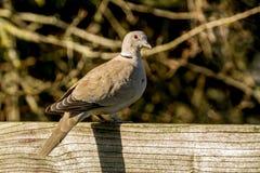 Collared голубь сидеть на загородке Стоковое фото RF