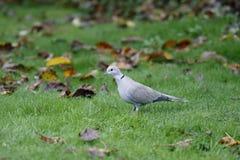 Collared голубь, decaocto горлицы Стоковая Фотография RF