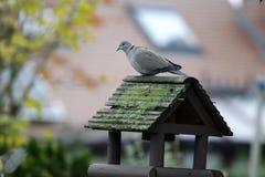 Collared голубь, decaocto горлицы Стоковое фото RF