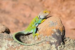 collared зеленая ящерица Стоковые Фото