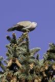Collared отдыхать голубя/decaocto горлицы Стоковая Фотография RF
