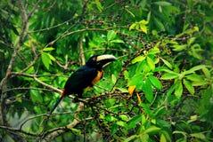 Collared ягоды aracari toucan ища в treetop в Гватемале стоковая фотография