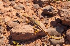 Collared ящерица в пустыне Стоковое Изображение
