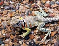 collared ящерица Стоковая Фотография