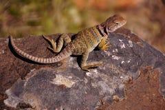 Collared ящерица Стоковое фото RF