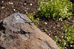 Collared ящерица Стоковые Фотографии RF