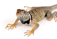 collared ящерица Стоковая Фотография RF
