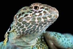 collared ящерица crotaphytus collaris Стоковая Фотография