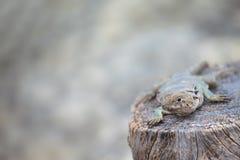 collared ящерица crotaphytus collaris Стоковое Изображение RF