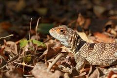 Collared ящерица iguanid, Мадагаскар Стоковые Изображения