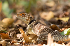 Collared ящерица iguanid, Мадагаскар Стоковое Фото
