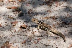 Collared ящерица iguanid, Мадагаскар Стоковые Изображения RF