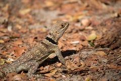 Collared ящерица iguanid, Мадагаскар Стоковые Фото